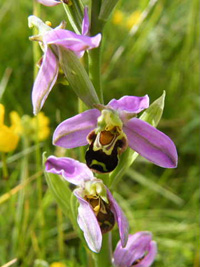 Tony Bee Orchid-7